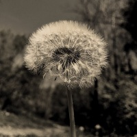 Dandelion: the messenger of wishes...