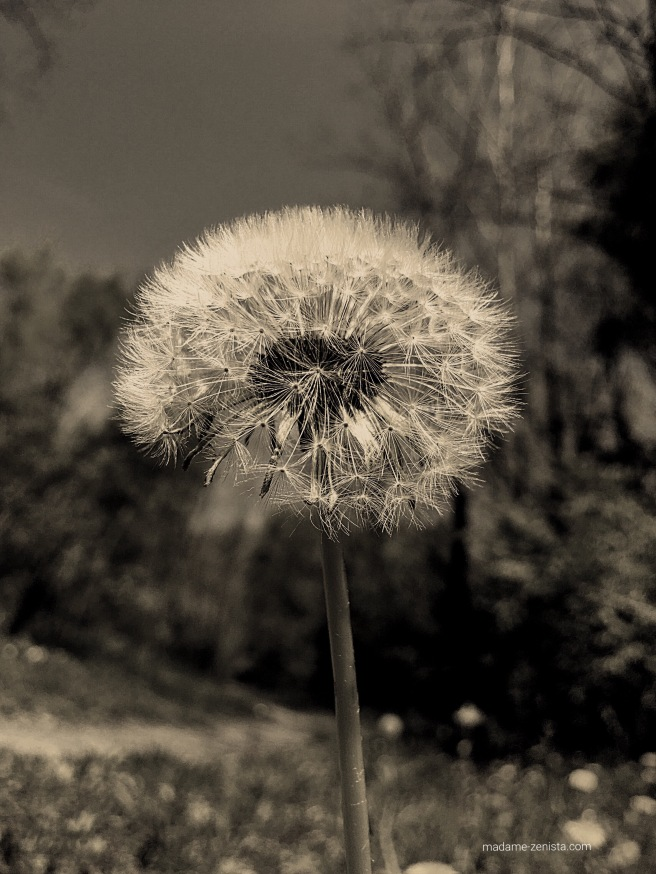 Dandelion. madame-zenista.com monochrome black and white