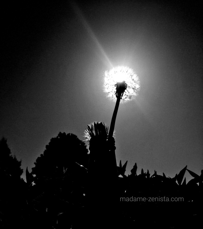 Dandelion, under the sun. black and white, photography, monochromes, B&W,