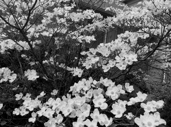 white flowers, black and white, photography, monochromes, B&W,